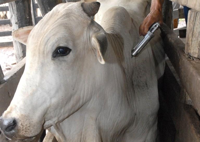 Paraná suspende vacinação de bovinos e bubalinos contra a febre aftosa