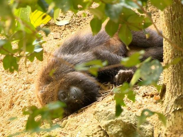 Macaco bugio é encontrado morto no interior de São Mateus do Sul