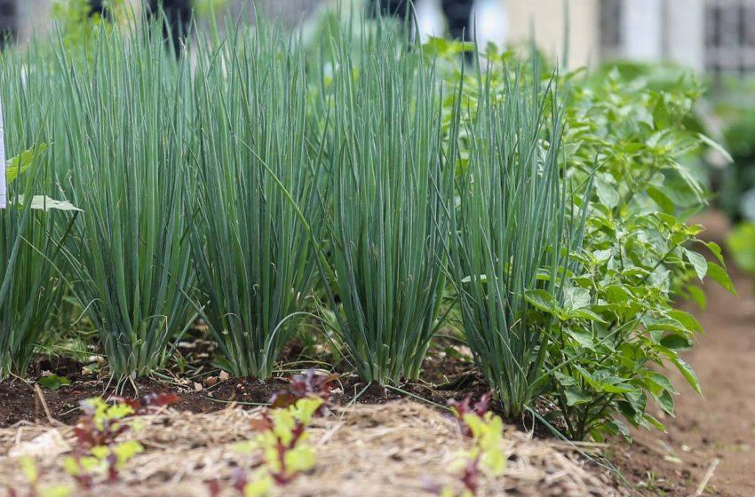 Agricultura lança cartilha com dicas para horta em pequenos espaços