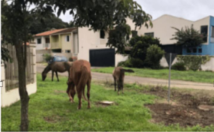 Cavalos soltos; prefeitura tenta localizar proprietário e notifica para recolher