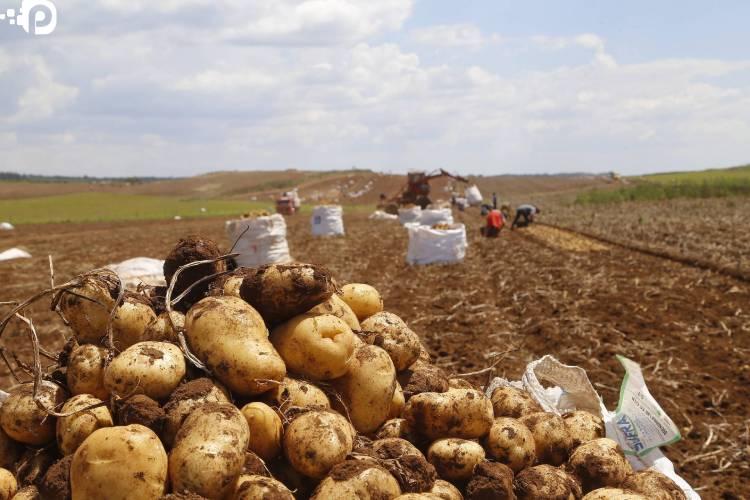 Segundo maior produtor, Paraná responde por um quinto da batata do País