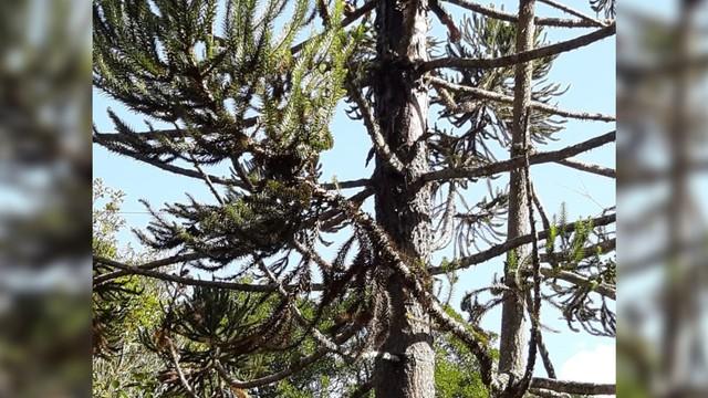 Homem morre eletrocutado após subir em pinheiro para colher pinhas