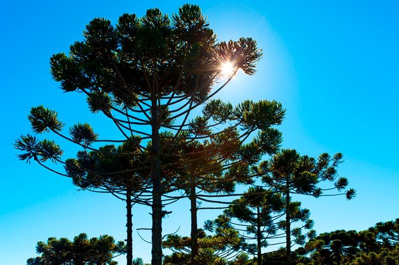 """""""Ampliar florestas com Araucária tem relação com sustentabilidade"""", defende Bacil"""