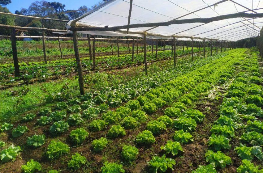 Estufas, abrigos e sombrite ajudam a proteger às hortaliças do frio em São Mateus do Sul, Triunfo e região
