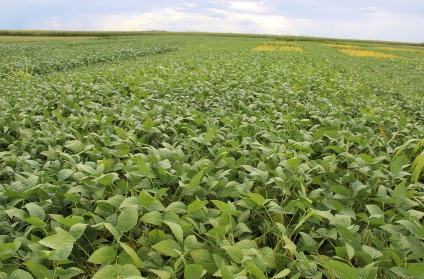 Soja: produção paraguaia pode crescer pelo aumento do plantio e clima favorável
