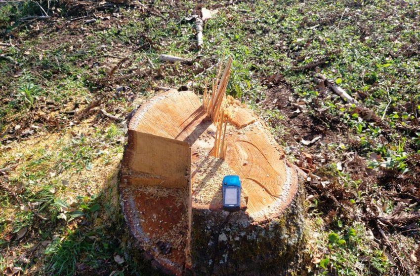 Homem é multado em mais de 14 mil, pelo corte de 8 pinheiros araucária em Imbituva