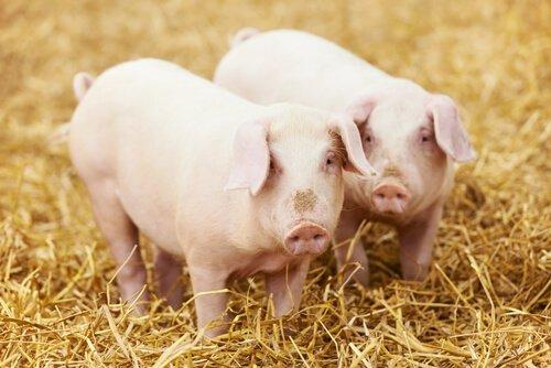Homem detido pela PM oferece porco para ser solto no PR
