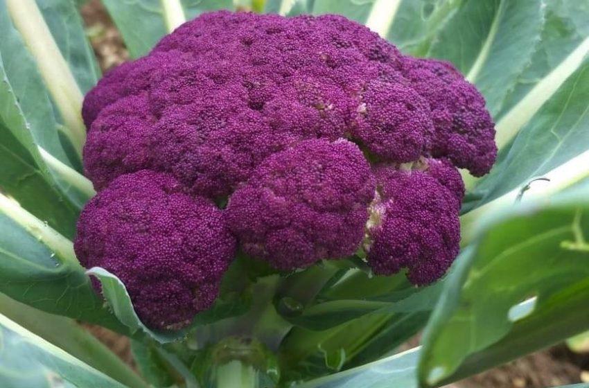 Couve-flor roxa chama atenção e entra na produção de verduras de São-mateuense