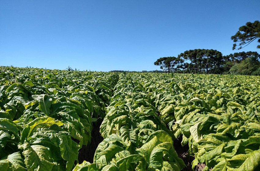 Produção da safra de fumo gera receita superior a R$ 93 milhões em Palmeira